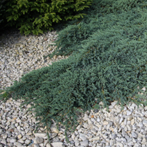 Juniperus squamata 'Blue Carpet' 2