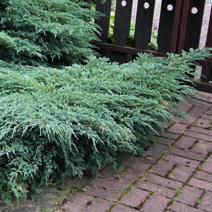 Juniperus squamata 'Blue Carpet' 3