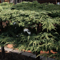 Juniperus communis 'Green Carpet' 2