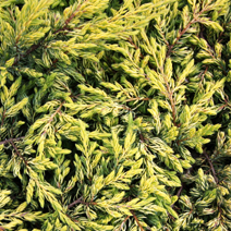 Juniperus communis 'Goldschatz' 3