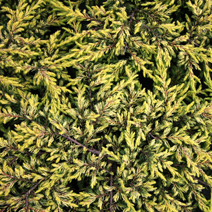 Juniperus communis 'Goldschatz' 2