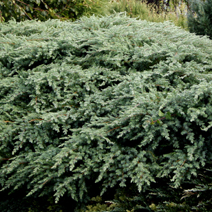 Juniperus conferta 'Blue Pacific' 5