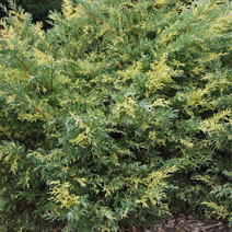 Juniperus x pfitzeriana 'Blue and Gold' (J. media 'Blue and Gold') 6