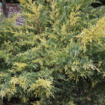 Juniperus x pfitzeriana 'Blue and Gold' (J. media 'Blue and Gold') 5