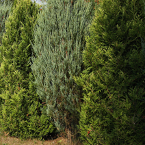 Juniperus scopulorum 'Skyrocket' 2