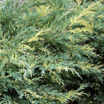 Juniperus x pfitzeriana 'Blue and Gold' (J. media 'Blue and Gold') 4