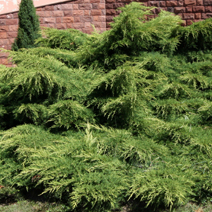 Juniperus x pfitzeriana 'Old Gold' (J. media 'Old Gold') 5