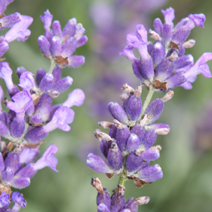 Lavandula angustifolia 'Royal Purple' 3