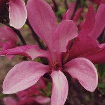 magnolia 39 betty 39 magnolie 39 betty 39 szk ki kurowscy. Black Bedroom Furniture Sets. Home Design Ideas