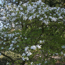 Magnolia stellata 'Royal Star' 1