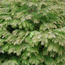 Metasequoia glyptostroboides 'Matthaei Broom' 1