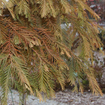 Metasequoia glyptostroboides 'Matthaei Broom' 2