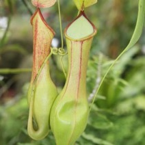 Nepenthes 'Director.G.T.Moore' 1