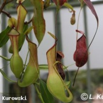 Nepenthes 'Director.G.T.Moore' 2