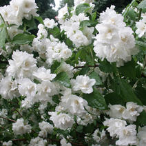 Philadelphus 'Bouquet Blanc' 1