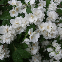 Philadelphus 'Bouquet Blanc' 2