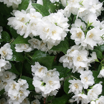 Philadelphus 'Bouquet Blanc' 3
