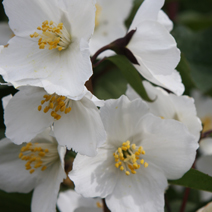 Philadelphus 'Starbright' PBR