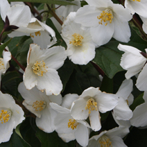 Philadelphus 'Starbright' PBR 2