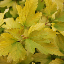 Physocarpus opulifolius 'Angel Gold' (Ph. op. 'Minange') ® PBR 2