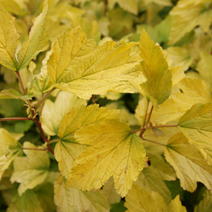 Physocarpus opulifolius 'Angel Gold' (Ph. op. 'Minange') ® PBR 3