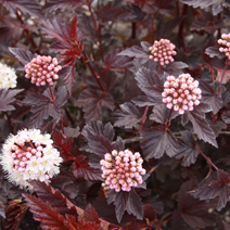 Physocarpus opulifolius 'Lady in Red' (Ph. op. 'Tuilad') 2