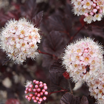 Physocarpus opulifolius 'Lady in Red' (Ph. op. 'Tuilad') 3