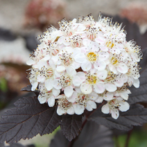 Physocarpus opulifolius 'Red Baron' 6