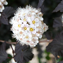 Physocarpus opulifolius 'Red Baron' 8