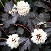 Physocarpus opulifolius 'Red Baron' 7