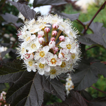 Physocarpus opulifolius 'Red Baron' 3