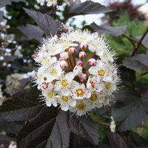Physocarpus opulifolius 'Red Baron' 2