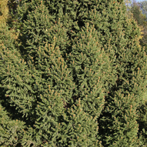 Picea abies 'Barryi' 3