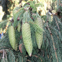 Picea abies 7