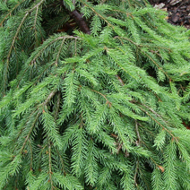 Picea abies 'Formanek' 3