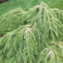 Picea abies 'Formanek' 4
