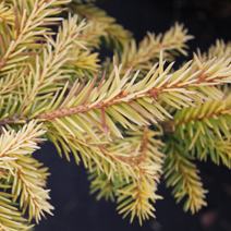Picea abies 'Vermont Gold' 2