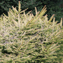 Picea abies 'Vermont Gold' 3