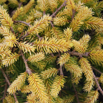 Picea abies 'Vermont Gold' 1