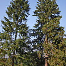 Picea abies 4