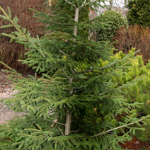 Picea orientalis 'Golden Start' (P. or. 'Wittboldt') 2