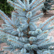 Picea pungens 'Omega' 2