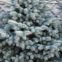 Picea pungens 'Koster' 3