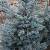 Picea pungens 'Omega' 1