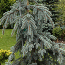 Picea pungens 'The Blues' 1