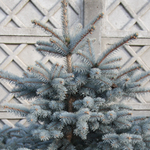 Picea pungens 'Koster' 1
