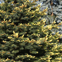 Picea pungens 'Maigold' 2