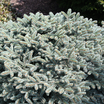 Picea pungens 'Wendy' 2