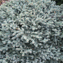 Picea pungens 'Wendy'