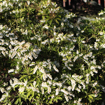 Pieris japonica 'White Pearl' 2